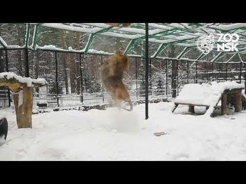 Видео: В Новосибирске африканский лев кувыркался в сугробах
