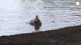 [HD] Hà Mã cứu Ngựa Vằn khỏi hàm Cá sấu