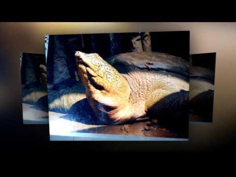 Ý tưởng đưa rùa Đồng Mô về hồ Gươm gây tranh cãi