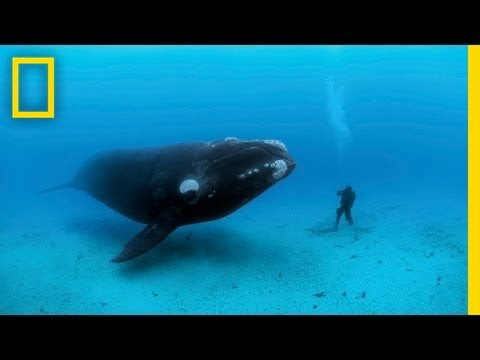 National Geographic Live! - Diving with Whales, Brian Skerry braves the waters of the Antarctic for a very up-close view of the right whale. Upcoming Events at National Geographic Live! http://events.natio...