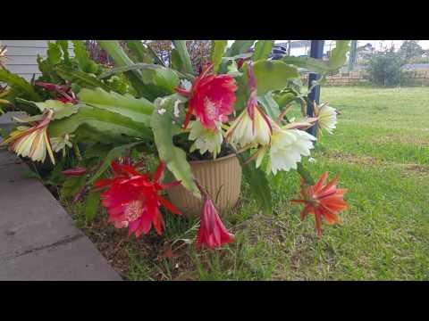 Hoa quỳnh nhà trồng