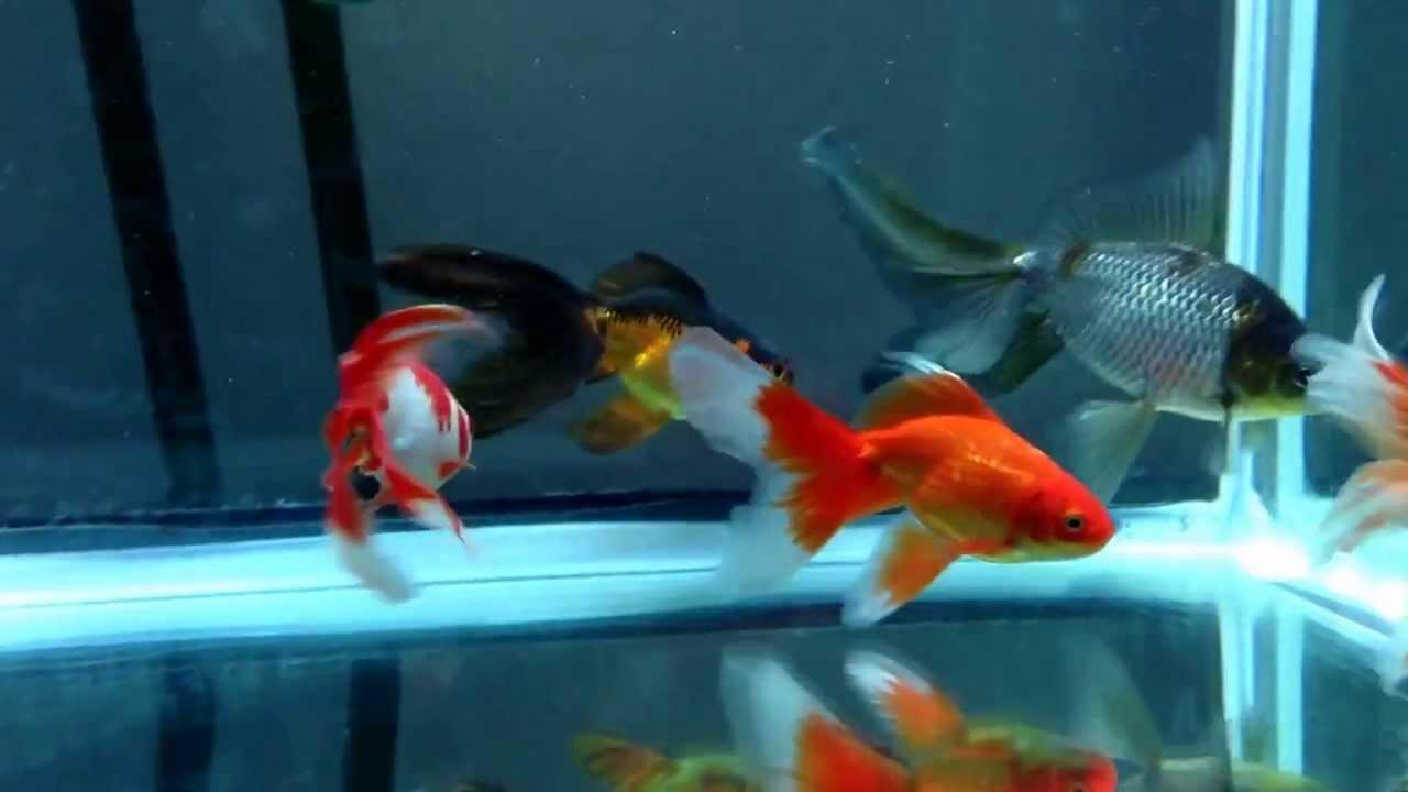 New Watonai Goldfish from Rain Garden Goldfish and Flower ...