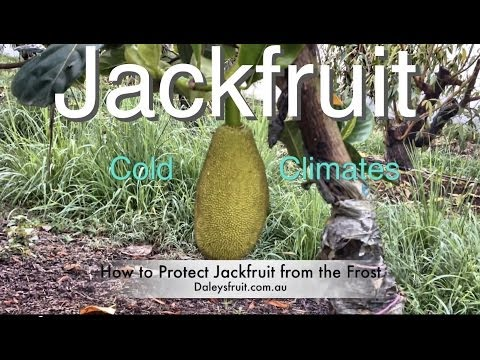 Grafted Jackfruit Tree - Growing in Cold Climates ( Brinsmead variety )