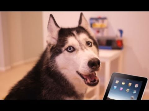 Husky Dog Sings with iPad 2 - Better than Rebecca Black!