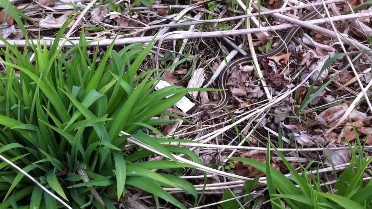 how to get rid of garter snakes in your garden