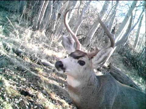 Mule Deer buck captured in trail cam