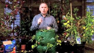 How To Grow Strawberries Growing Strawberries