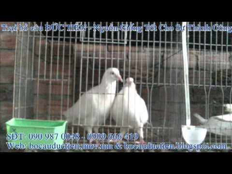 Trại bồ câu Đức Tiến (090 987 0048)