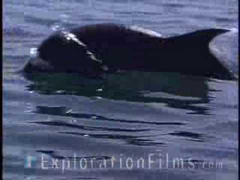 Dolphins Help Fishermen
