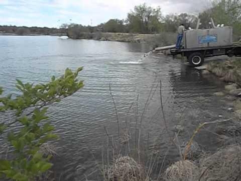 trout lake dating Genus salmo adriatic trout, salmo obtusirostris brown trout, salmo trutta river trout, s t morpha fario lake trout/lacustrine trout, s t morpha lacustris.