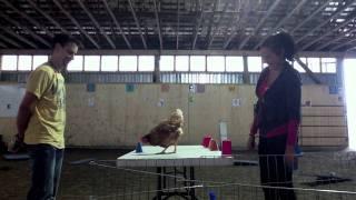 Camp entrainement poules renforcement positif