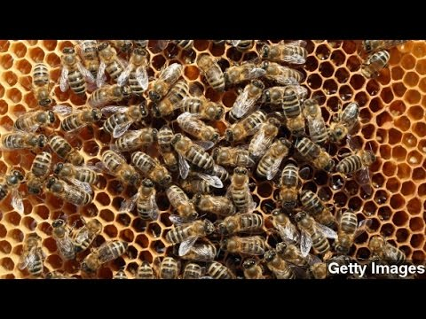 Bee Colony Collapse Disorder One Of Summer's Big Stories