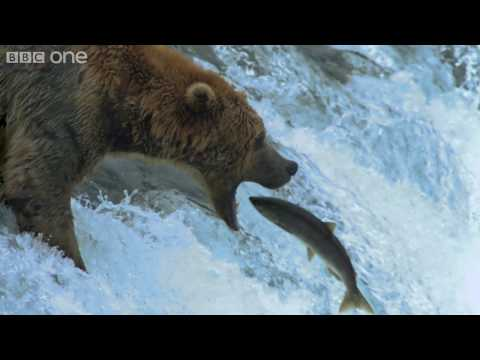 HD: Grizzly Bears Catching Salmon - Nature's Great Events: The Great Salmon Run - BBC One, Every year grizzly bear families in North America depend for their survival on a spectacular natural event: the return of hundreds of millions of salmon from the Pacific Ocean to the mountain streams where they were born.
