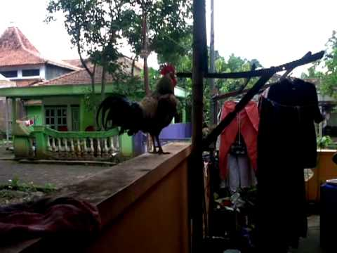 ayam ketawa Mr. Black