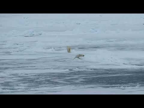 MVI 4651 polar bears falling thru ice, Svalbard