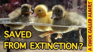 The Rarest Ducklings on earth