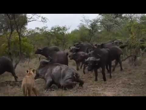 León vs Buffalo vs cocodrilo   Grupo de Buffalo mata león   más grandes peleas de animales salvajes