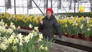 Купить луковицы и корневища цветочных культур новой почтой, интаймом, укрпочтой. ☎ (044) 22-77-345.