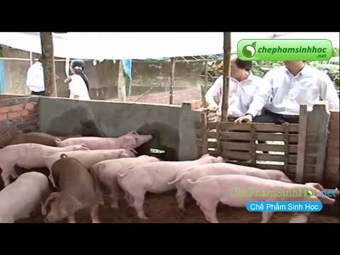 Sử dụng đệm lót sinh học trong chăn nuôi heo, lợn gà, vịt