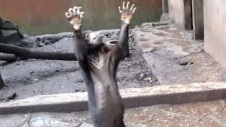CNN: Emaciated bears at the Bandung Zoo in Indonesia beg for food