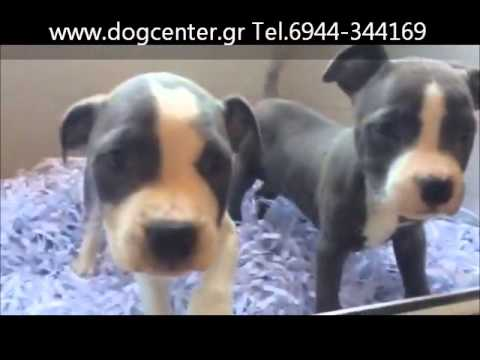Amstaff BLUE video 7a-14 DogCenter