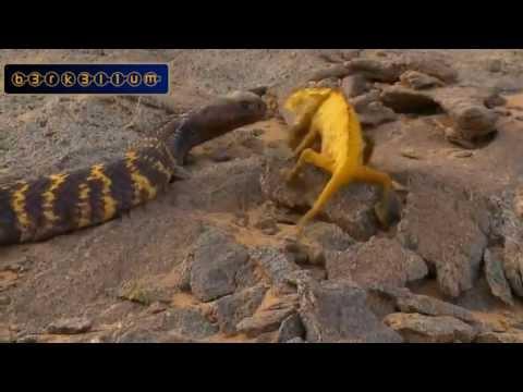 Thế giới động vật - Trận chiến giữa rắn và tắc kè