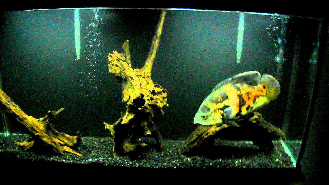 150 Gallon African Cichlid Tank furthermore 29 Gallon 4 also 55 Gallon Fish Tank 1 Oscar Back Gallery For Tiger Oscar Cichlid Tank Mates as well 104947 Decoration in addition 74. on oscar fish tank setup examples