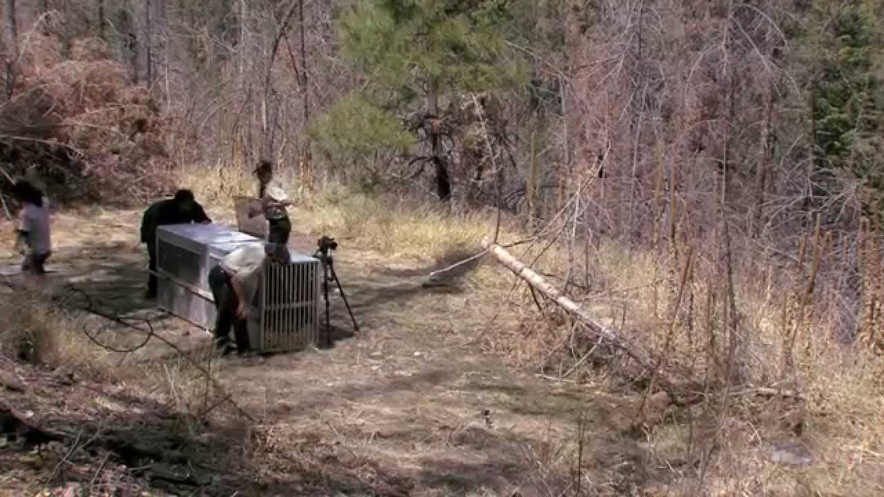 Mexican wolf release 4 9 2014 raw video youtube for Wmat game and fish