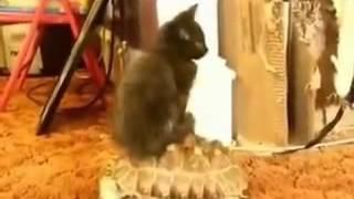 Gato subido en tortuga