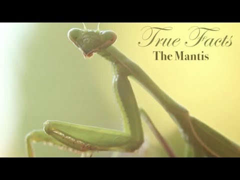 True Facts About The Mantis
