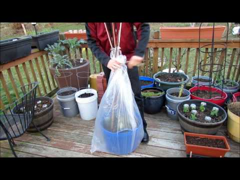 Frost Protection For Your Transplants: Fast & Easy Use of Cups & Plastic Bags