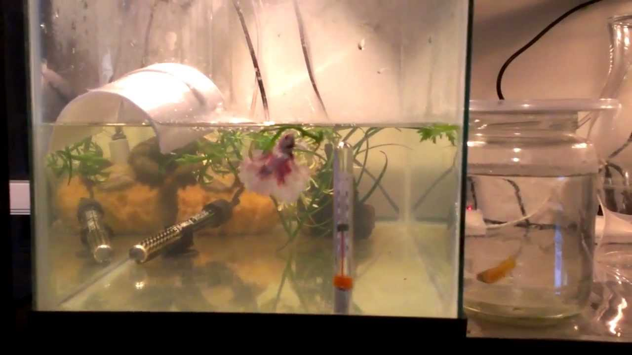 Betta breeding setup betta tank setups 2017 fish tank for Fish breeding tank