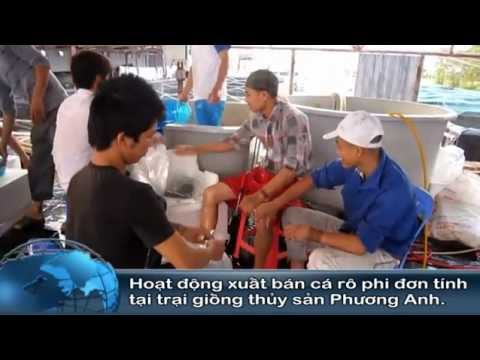 Hình ảnh xuất bán cá rô phi đơn tính Đường Nghiệp