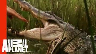 [Kỳ thú] Tay không bắt cá sấu đói