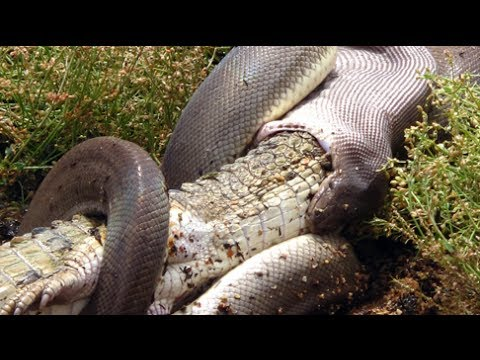 Giant python swallows crocodile up whole