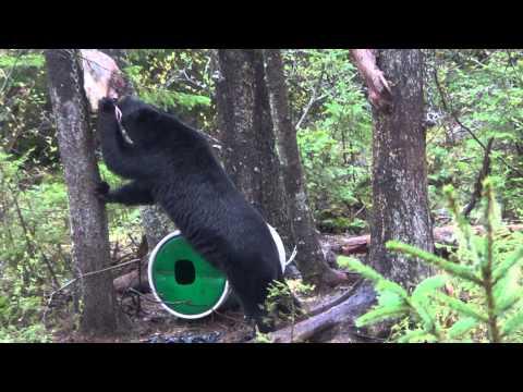 New Brunswick Bear Hunt-May,19/2014-Kevin Bourgoin