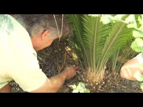Transplanting a Cycad Palm - Prune Like a Pro