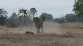 Elephant Frightened By African Wild Dog Puppies