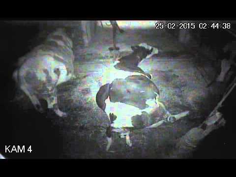 Krowi poród zarejestrowany kamerą monitoringu