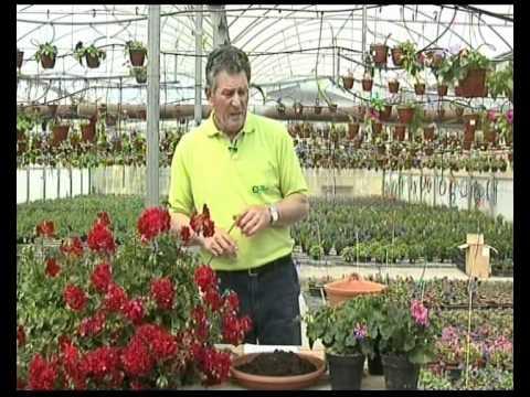 El Jardinero En Casa Geranios Y Gitanillas Youtube