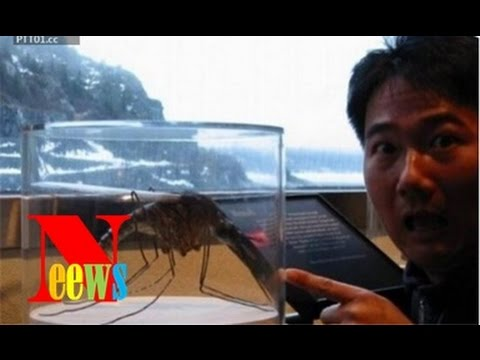 Top 18 'quái vật' khổng lồ đời thực (P1) | Con muỗi to hơn tôm hùm