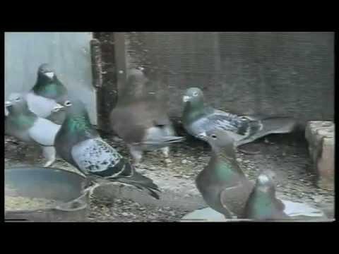 Racing pigeons/ Postagalambok