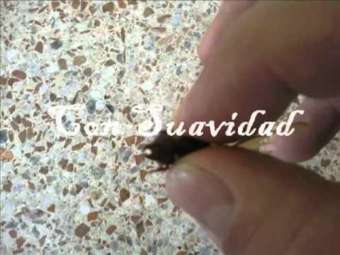 Preparacion de las Hormigas Culonas Santandereanas de Colombia