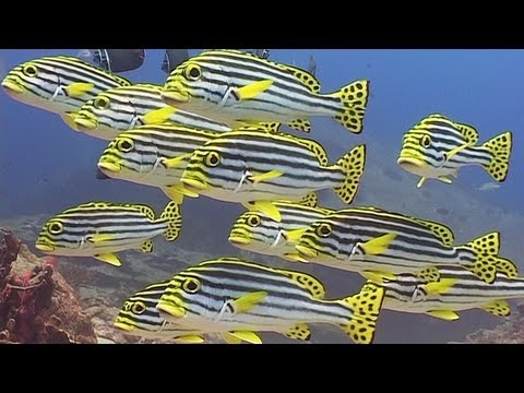 "Reef Fishes - Reef Life of the Andaman - Part 9, Reef fishes. Part 9 of my DVD, ""Reef Life of the Andaman"", available at http://www.bubblevision.com/marine-life-DVD.htm or view the whole 2-hour video at htt..."