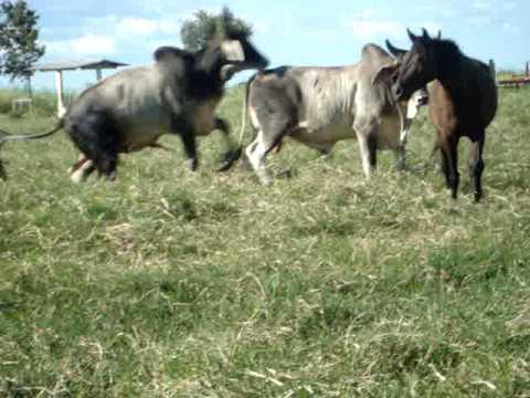 Cavalo Cruzando Vaca
