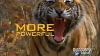 DUELO ANIMAL LEON VS TIGRE 4/5