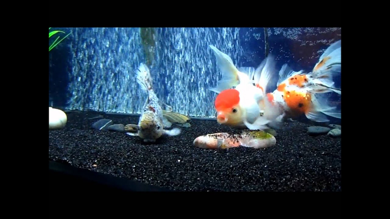 20 gallon aquarium for goldfish 20 gal for Fish tank 20 gallon
