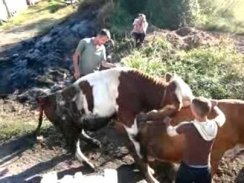oplodnja krava