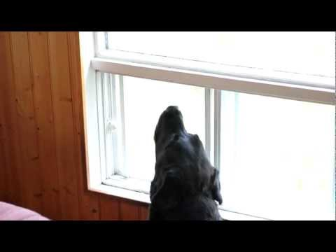 Dog howling when his masters leave the cabin., I was visiting my parents at their cabin. They usually bring their old lab with them whenever they leave the cabin in their boat(only way to get the cabin). ...