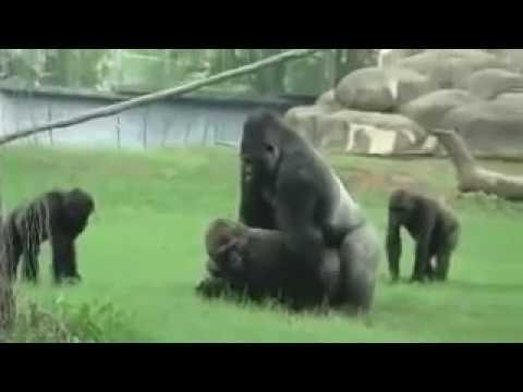 Gorillas GIAO PHỐI TRONG TỰ NHIÊN - Động vật giao phối để duy trì nòi giống